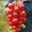 มะเขือเทศพันธุ์อะไลแคนที - Alicante Tomato thumbnail 1