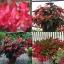 บีโกเนีย ปีกนางฟ้า สีแดง 10 เมล็ด/ชุด thumbnail 1