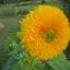 ทานตะวัน เทดดี้แบร์ - Teddy Bear Sunflower thumbnail 2