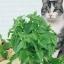 แคทนิป - Catnip Flower thumbnail 1