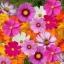 (Whole 1 Oz) ดาวกระจายคละสี - Mixed Cosmos Flower thumbnail 1