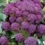 เบบี้บล็อคโคลี่สีม่วง - Purple Sprouting Broccoli thumbnail 1