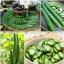 แตงกวาญี่ปุ่น - Japanese Cucumber thumbnail 4