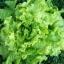 ผักสลัด ซิมสัน - Simpson Lettuce thumbnail 2