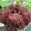 ผักสลัดแดงโลโล รอสซ่า - Lollo Rossa Lettuce thumbnail 4