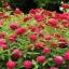 ดอกบานชื่นสีแดง - Mixed Red Zinnia Flower thumbnail 2