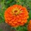 ดอกบานชื่นสีส้ม - Mixed Orange Zinnia Flower thumbnail 1
