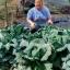 กะหล่ำปลี ซาวอย - Savoy cabbage thumbnail 5
