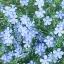 บลูเฟล็กซ์ - Blue Flax Flower thumbnail 2
