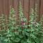 ดอกโฮลลี่ฮ็อคซ้อนคละสี - Mix Double Hollyhock Flower thumbnail 2