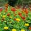 ดอกบานชื่นอเมริกา คละสี - CA Zinnia Flower thumbnail 3