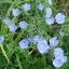 บลูเฟล็กซ์ - Blue Flax Flower thumbnail 5
