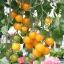 มะเขือเทศซันชูก้า - Sun Sugar Tomato F1 thumbnail 2