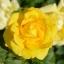 กุหลาบสีเหลือง 5 เมล็ด/ชุด thumbnail 1