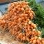 แครอท พันธุ์ปาริเซียน - Parisian Carrot thumbnail 2