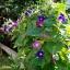 ดอกมอร์นิงกลอรี คละสี - Mixed Morning Glory Flower thumbnail 3