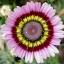 ดอกเดซี่ 3 สี คละสี - Tricolor Daisy Flower thumbnail 4