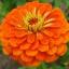 (Whole 1 Oz) ดอกบานชื่นสีส้ม - Orange Zinnia Flower thumbnail 1