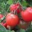 มะเขือเทศเอซีอี - ACE 55 Tomato thumbnail 2