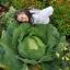 (Whole 1 Oz) กะหล่ำปลียักษ์ - Giant Russian Cabbage thumbnail 1