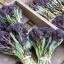 (Whole 1 Oz.) เบบี้บล็อคโคลี่สีม่วง - Purple Sprouting Broccoli thumbnail 2