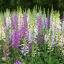ฟ็อกซ์โกล์ฟ - Foxglove Flower Mix thumbnail 1