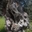 ต้นมะกอก ยูโรป้า ซองละ 5 เมล็ด thumbnail 2