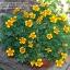 (Whole 1 Oz) ดาวเรือง มารีเอตต้า - Marietta Marigold Flower thumbnail 2