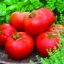 มะเขือเทศเอซีอี - ACE 55 Tomato thumbnail 1