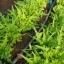 ผัดสลัดใบโอ้ค - Oak Leaf Lettuce thumbnail 4
