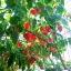 พริกฮาบาเนโร่สีแดง - Red Habanero Pepper thumbnail 3