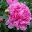 ดอกโบตั๋นสีชมพู ซองละ 5 เมล็ด thumbnail 1