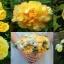 ดอกโบตั๋นสีเหลือง ซองละ 5 เมล็ด thumbnail 1