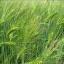 ข้าวบาร์เลย์ - Barley Rice thumbnail 4