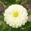 ดอกบานชื่นสีขาว - Mixed White Zinnia Flower thumbnail 1