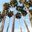 ปาล์มแคลิฟอร์เนีย - California Palm thumbnail 1