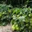 มะเขือเทศเตี้ย ไทนี่ ทิม - Tiny Tim Tomato thumbnail 2