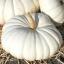 ฟักทองสีขาว บอร์ฟอร์ด - Flat White Boer Ford Pumpkin thumbnail 1