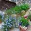 บลูเฟล็กซ์ - Blue Flax Flower thumbnail 4