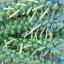 กะหล่ำดาว - Brussels Sprouts thumbnail 3