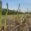 หน่อไม้ฝรั่ง พันธุ์เมรี่ วอชิงตัน - Mary Washington Asparagus thumbnail 3