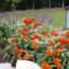 (Whole 1 Oz) ดอกบานชื่นสีส้ม - Orange Zinnia Flower thumbnail 3