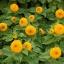 ทานตะวัน เทดดี้แบร์ - Teddy Bear Sunflower thumbnail 4