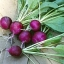 เรดิชสีม่วง - Purple Plum Radish thumbnail 3