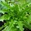 (Whole 1 Oz.) ผัดสลัดใบโอ้ค - Oak Leaf Lettuce thumbnail 1
