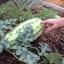 (Whole 1 Oz) แตงโมยักษ์ พันธุ์จูบิลี่ - Jubilee Giant Watermelon thumbnail 3