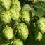 ฮอป (ทำเบียร์) - Common Hops Seeds thumbnail 3