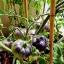 มะเขือเทศแบล็คบิวตี้ - Black Beauty Tomato thumbnail 4