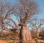 ต้นไม้ยักษ์ เบาบับดิจิทาทา - Adansonia digitata baobab thumbnail 3