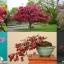 เพรรี่ ไฟเออร์ แครปแอ็ปเปิ้ล 5 เมล็ด/ชุด thumbnail 1